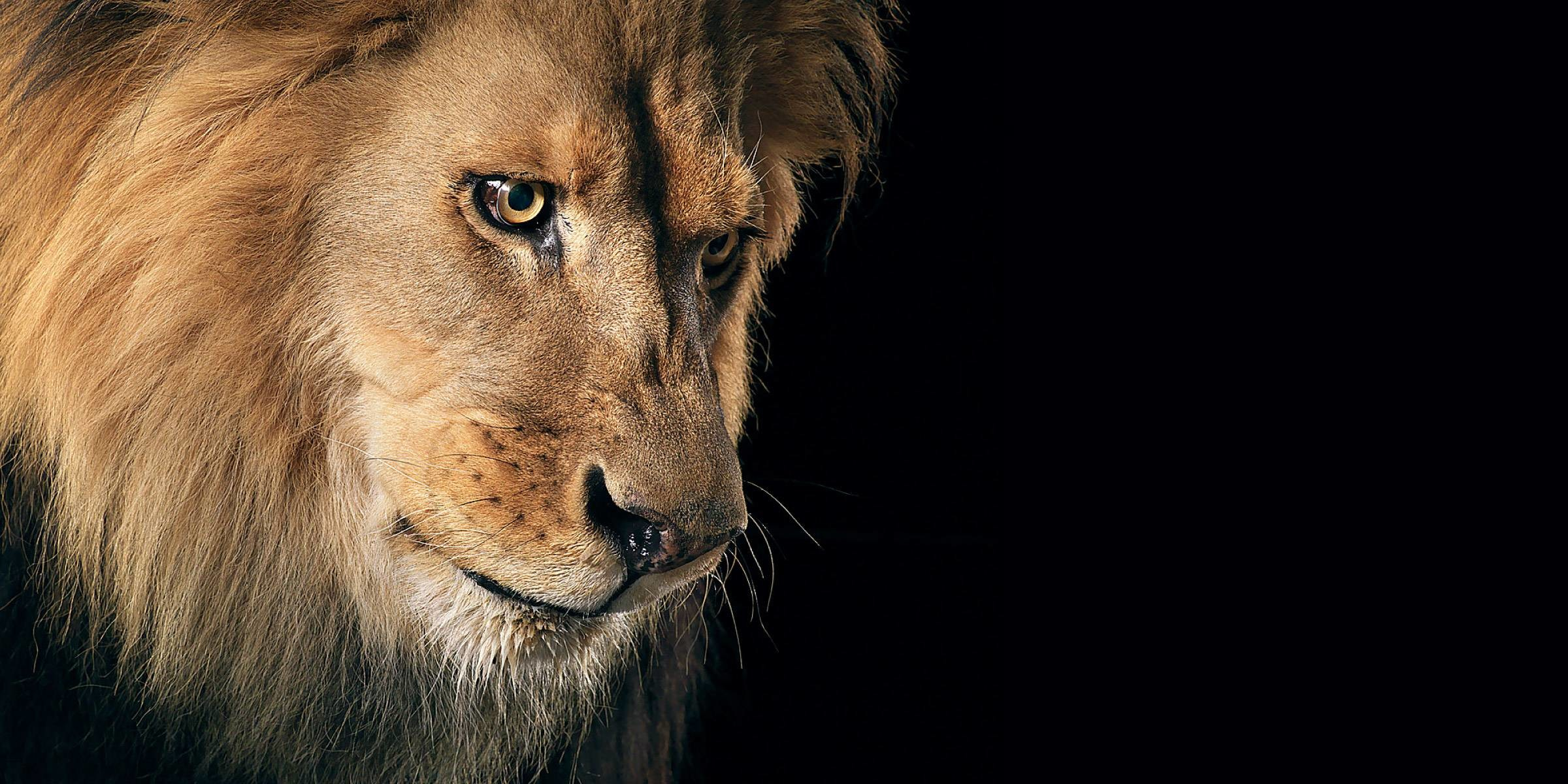 White Lion Wallpaper Widescreen
